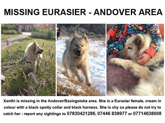 Eurasier Dog Missing in Andover