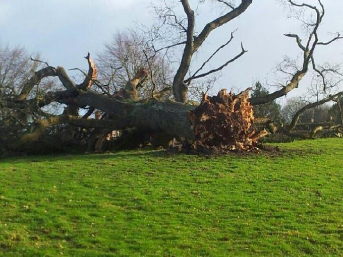 Fallen Tree at Enham