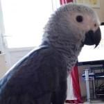 Wayne's African Grey Parrot Featured