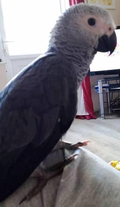 Wayne's African Grey Parrot